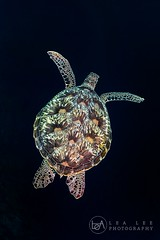 flying (Lea's UW Photography) Tags: lealee canon5dmk3 subal canonef815mm fisheye wideangle bunaken underwater turtle