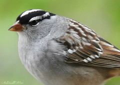 White crowned sparrow (NaturewithMar) Tags: white crowned sparrow bird closeup nikoncoolpix b700