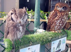 Voo Voo and Toddy (billnbenj) Tags: barrow cumbria owl southafricanwhitefacedscopsowl tawnyowl raptor birdofprey