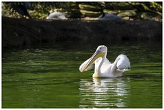 Eastern White Pelican (Tom Warne Photography) Tags: eastern white pelican