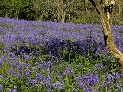 Blue Carpet (Nanny Bean) Tags: whorltonhill bluebells blue wildflowers woodland hyacinthoidesnonscripta