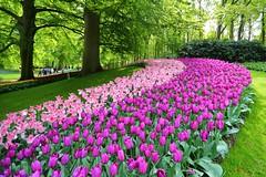 鬱金香 (mikleyu) Tags: 庫肯霍夫花園 荷蘭 春天 鬱金香 花