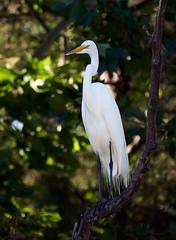 _A180960 (melsdad1) Tags: whiterocklake dallas texas spillway fishing heron egret nightheron sony100400mm sony7riii ibis