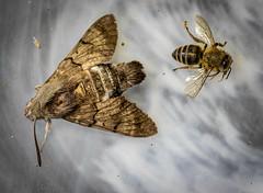Some perished creatures (raymond_zoller) Tags: canoneos6dmarkii insekt lightroom nachtfalter sigmaapomacro150mmf28exdgoshsm makro moth насекомое ночнаябабочка ночноймотылёк тварь