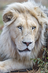 Pretty white lion