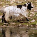 Goat at Lucky Ladd Farm thumbnail