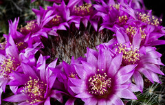 Circle in Pink (Outlaw_Pete) Tags: macro flower floral cactus mammillaria pink