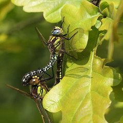 """""""Brachytron pratense"""" - glassnijder (bugman11) Tags: glassnijder bug bugs fauna leaf leaves flora canon 100mm28lmacro dragonfly dragonflies macro insect insects animal animals bokeh nature nederland thenetherlands boxtel kampina tandem"""