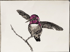 Costa's hummingbird (podicep) Tags: costashummingbird felttippenandcoloredpencil inkdrawing calyptecostae trochilidae