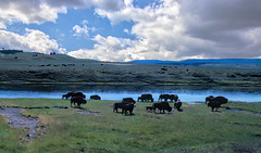 Buffalo herd (tevans9129) Tags: yellowstonepark ynp wyoming buffalo clouds scenic landscape nikon f3 bison
