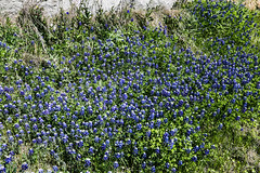 Bluebonnets Along A Roadcut (wyojones) Tags: texas cresson cressonbluff cressonridge hoodcounty us377 bluebonnets flowers spring lupinustexensis texasbluebonnets roadcut limestone cretaceous springtime wildflowers