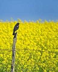 Redwing Blackbird Fence Post Canola Field 4837 C (jim.choate59) Tags: jchoate on1pics bird blackbird redwingblackbird field fence fencepost yellow springtime rural barbedwire willamettevalley albanyoregon linncountyoregon