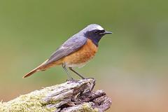 Redstart (JaneTurner68) Tags: redstart chats bird male canon1dmkiv canon100400mmmkiilens canon