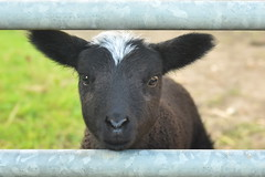 little lamb looking through gate (Snapdragon Lincs) Tags: lamb zwarbles black white cute funny gate looking nosey hello countryside farm animal springtime north lincolnshire