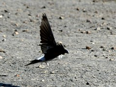 House Martin take off 16.5.19 (ericy202) Tags: house martin bird takeoff flight mud burnham overy staithe