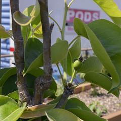 Baby Pear (crop) (Theron Trowbridge) Tags: eaglerock california ca plant