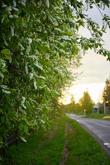 bird cherry tree in sunset (PhGra_f) Tags: bird cherry tree white nature branch blossom green flower spring beauty blooming birdcherry plant leaf season growth macro color young background fresh nobody bush pattern dark contrast siberia canon 6d carl zeiss pancolar 50 mm carlzeissjena m42