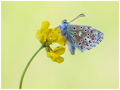 Adonis Blue (nigel kiteley2011) Tags: adonisblue lysandrabellargus butterfly butterflies macro lepidoptera insects nature canon 5dmk3 sigma180mm