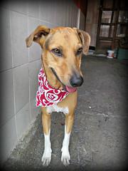 El Galan de la Casa (MaPeV) Tags: ronni piti perro cachorro dog criollo powershot canon g16 trompetilla doggy pichichu pet mascota