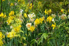 Daffodils and Narcissus (Craig James White) Tags: canada ontario brucecounty saugeenshores woods spring flowers daffodils narcissus trilliums