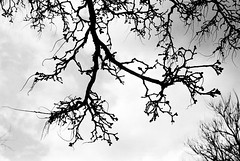Branch - Film Leica (Photo Alan) Tags: vancouver canada film filmcamera filmscan filmleica leicamp leica90mmf28 blackwhite monochrome blackandwhite tree trees branch nature