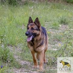 Lupo (Allevamento Casa Caligiani) Tags: germanshepherd pastoretedesco dog cane gsd schäferhund