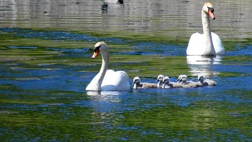 AP0402.DSCN0395.06 oiseau aquatique 02 (cygne couple famille cygneau-petit lac) Neuville