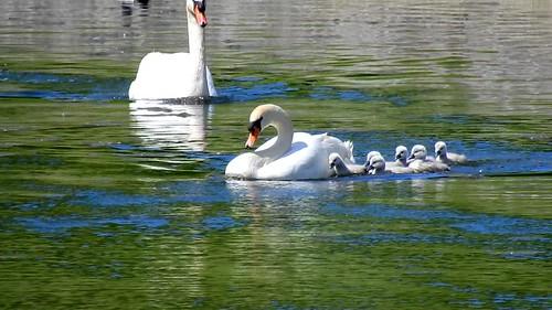 AP0402.DSCN0395.03 oiseau aquatique 02 (cygne couple famille cygneau-petit lac) Neuville