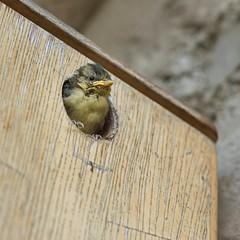 Curious (~ Jessy S ~) Tags: nikon d750 nikkor 70200 bird birds oiseaux bébés nichoir progéniture progeny baby cute feedtime feed food sweet fauna nature love lovely parents tits mésange bleue blue