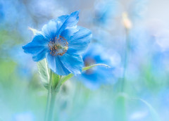 Blue poppy (Tomo M) Tags: meconopsis ヒマラヤの青いケシ 箱根湿生花園 ブルーポピー flower nature blue bokeh spring alpineplant soft plant trioplan