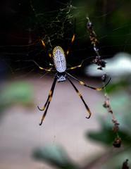 Golden Orb Spider (bradleylubbe) Tags: arachnid spider orb australia
