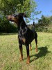 Doberman Pinscher Saxon - Me and My Shadow (firehouse.ie) Tags: chiens chien nature animals animal pinschers pinscher dobermanns dobermann dobermans doberman dobeys dobey dobies dobie dobes dobe dogs dog