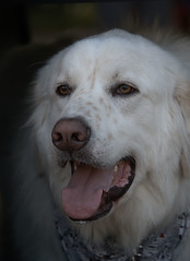 Big White (Scott 97006) Tags: dog canine animal head pant eyes watching white