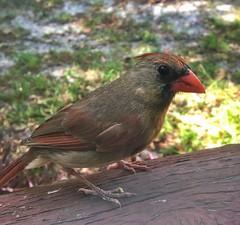 Lady Cardinal 2 (LadyCardinalJenny) Tags: ladycardinalphotography jenniffertaylor iphone6s mobilephotography animal bird cardinal ladycardinal femalecardinal
