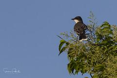 Eastern Kingbird (Stephen J Pollard (Loud Music Lover of Nature)) Tags: tiranodorsonegro easternkingbird bird ave tyrannustyrannus flycatcher mosquero