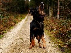 46421806901_1e74bc9762_o (daniele.hauenstein) Tags: hund hovawart