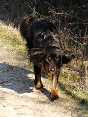 PIC13563-FZ300 (daniele.hauenstein) Tags: hund hovawart