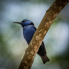 Red-legged Honeycreeper [Cyanerpes cyaneus] (Fred Roe) Tags: nikond7100 nikonafsnikkor200500mm156eed nature naturephotography national wildlife wildlifephotography animals birds birding birdwatching birdwatcher honeycreeper redleggedhoneycreeper cyanerpescyaneus colors flickr flicker outside panama