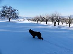 PIC14780-FZ300 (daniele.hauenstein) Tags: hund hovawart