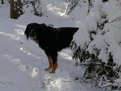 PIC14773-FZ300 (daniele.hauenstein) Tags: hund hovawart