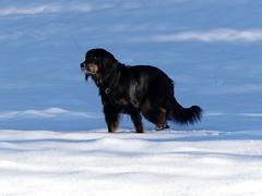 PIC14736-FZ300 (daniele.hauenstein) Tags: hund hovawart