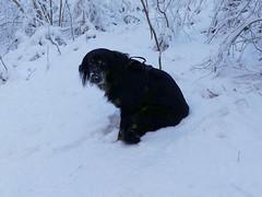 PIC14754-FZ300 (daniele.hauenstein) Tags: hund hovawart
