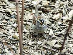 White-throated Sparrow (Picsnapper1212) Tags: whitethroatedsparrow bird animal nature greatbackyardbirdcount february2019 hiseypark warrencounty ohio