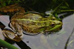 frog :) (engin_photos) Tags: frog animal olympus m43 olympusturkiye olympusyollarda kurbağa new macro fence olympus40150mm smileonsaturday