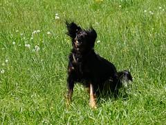 PIC15316-G81 (daniele.hauenstein) Tags: hund hovawart
