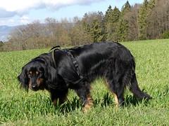 PIC15117-FZ300 (daniele.hauenstein) Tags: hund hovawart