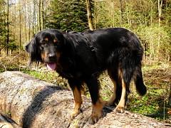 PIC15233-FZ300 (daniele.hauenstein) Tags: hund hovawart