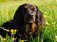 PIC15265-G81 (daniele.hauenstein) Tags: hund hovawart
