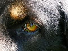 PIC15304-G81 (daniele.hauenstein) Tags: hund hovawart