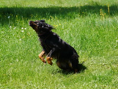 PIC15306-G81 (daniele.hauenstein) Tags: hund hovawart